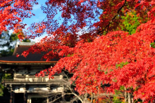 三井寺「紅葉」